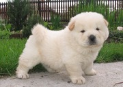 male and female chow chow pups for re homing