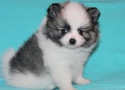 Platinum Micro White Pomeranian Puppies For Sale