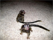 LWE Adorable Twin Pygmy Marmoset and Capuchin 07031957695