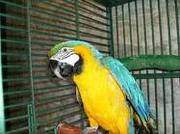 blue and gold macaw parrots for rehoming so contact